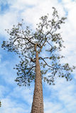 Alone pine tree Stock Photo