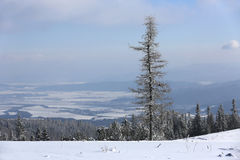 Alone pine tree on winter mountain meadow Royalty Free Stock Image