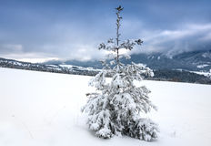 Alone pine tree in winter mountains Stock Images