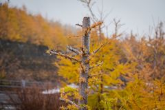 Alone pine tree with yellow colorful autumn pine trees in background. royalty free stock image