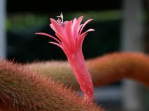 Pink cactus flower. Alone pink cactus flower royalty free stock images