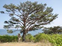 Alone Pinus densiflóra by the sea Royalty Free Stock Image