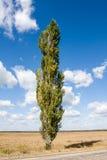 Alone poplar tree Stock Image