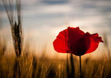 Alone poppy in agricultural field in sunset light. Stock Photos