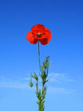 Alone Poppy on the Blue Royalty Free Stock Images