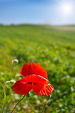 Alone poppy Stock Images