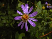 Alone in The Rain. A wild flower struggling in a downpour Stock Image