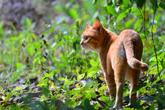 Alone red cat in the garden Stock Photography