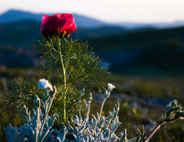Alone red flower. A beautiful flower at sunset Stock Image