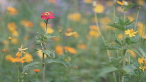 Alone Red Flower stock footage