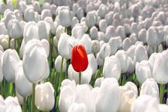 Free Alone Red Tulip In A Field Of White, The Concept Is Unique, Special, Rare Stock Images - 135281914