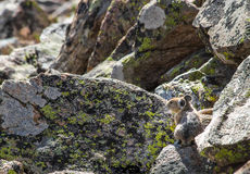 Alone on the Rocks. A pika gathers food for the upcoming winter Stock Images
