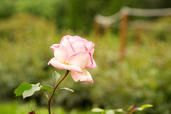 Alone romantic pink rose growing in the outdoor garden violet background. Small insects in pollen of beautiful pink rose with nature background Royalty Free Stock Photography