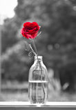 Alone rose Royalty Free Stock Photo