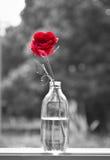 Alone rose Royalty Free Stock Photo