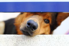 Alone sad dog muzzle portrait looking little hole. Alone sad dog muzzle portrait looking little balcony window hole Stock Image