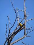 Alone saffron finch. On ZKing Trail, Big Island, Hawaii Stock Image