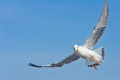 Alone seagull catch food in mouth Stock Photos