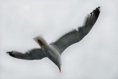 Alone seagull in a freedom fly Royalty Free Stock Photography