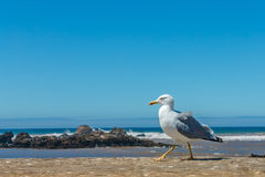 Alone seagull perched on a wall Stock Photos
