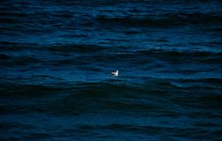 Alone. A seagull alone on the sea Stock Photos