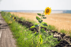 Alone single sunflower on the edge of rural dirt road Stock Image