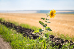 Alone single sunflower on the edge of rural dirt road Royalty Free Stock Images