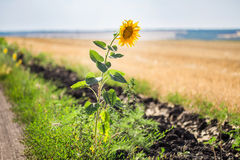 Alone single sunflower on the edge of rural dirt road Royalty Free Stock Photography