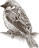 Alone small sparrow. Vector drawing of a city sparrow Stock Photo
