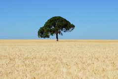 An oak in the middle of a wheat field. Solitary tree in wheat field Royalty Free Stock Photography