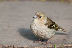 Alone sparrow Royalty Free Stock Image