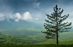Alone spruce Royalty Free Stock Photos
