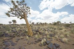 Alone standing tree. In the middle of the desert Stock Photos