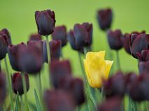 Alone among strangers. A yellow tulip surrounded by many black ones stock photos