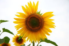 Alone Sunflower Stock Photography
