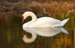 Alone swan. On lake in the sunny early evening Stock Photo