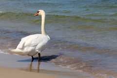 Alone swan on the beach in Kolobrzeg. White Swan stopped at a beach by the sea and looked around. It is seen on the Baltic Sea shore in Kolobrzeg in Poland Stock Photo