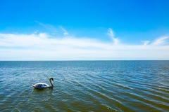 Alone swan Stock Photography
