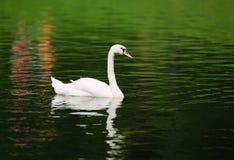 Alone swan swimming Stock Image