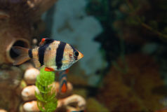 Alone Tiger barb freshwater fish in aquarium Stock Images