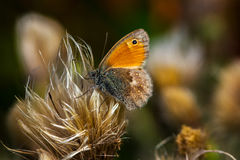 Alone at times. Butterfly on the meadow. Macro photography of wildlife Royalty Free Stock Images