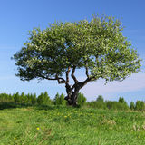 Alone tree. On green grass field Royalty Free Stock Photography