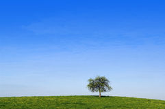 Alone tree. One alone tree with blue sky background Stock Photography