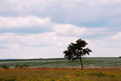 Alone tree. In the field Stock Images