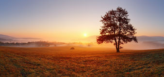 Alone tree. Alone tree on meadow at sunset with sun and mist - panorama Royalty Free Stock Photography