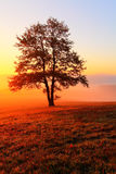 Alone tree. Alone tree on meadow at sunset with sun and mist Royalty Free Stock Image