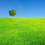 Alone tree. With blue sky stock image