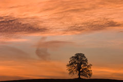 Alone tree. In the field Stock Image