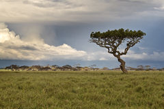Alone tree in the African savannah Stock Image