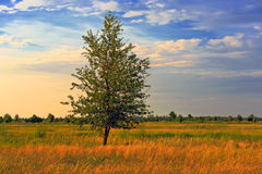 Alone tree on autumn meadow Royalty Free Stock Photography